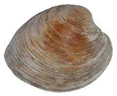 Eastern Clams - Bill the Oysterman