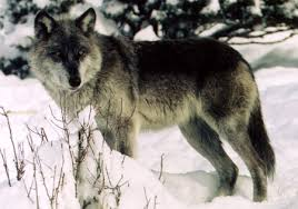 Image result for black wolf facts and information