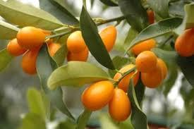 Resultado de imagen para naranjas chinas