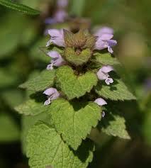 Lamium hybridum – Wikipédia, a enciclopédia livre