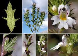 Euphrasia salisburgensis Funck ex Hoppe - Portale sulla flora del ...