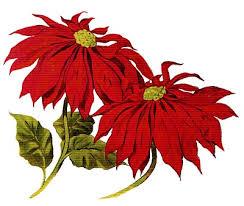 8 Poinsettia Clipart! - The Graphics Fairy