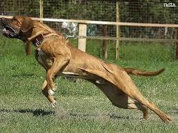 самые опасные породы собак. топ 10 самых опасных пород ...