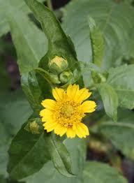 Guizotia abyssinica - Michigan Flora