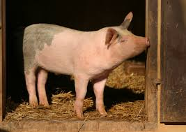 US to formulate separate international marketing strategy for pork Global Meat News