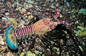 Image result for lobsters.