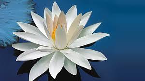 Regalame una flor.  - Página 16 Images?q=tbn:ANd9GcQIRTvLHCEMvNLUs7gVe9A3WJ33SmIOenF-6PL2qt1FxnWbiuahMw