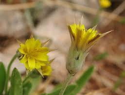 Catananche lutea (Yellow Catananche) : MaltaWildPlants.com - the ...