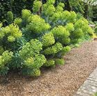 Buy spurge Euphorbia characias subsp. wulfenii: £7.99 Delivery by ...