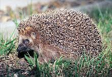Image result for wild hungarian hedgehogs