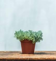 Artemisia Lanata - gli AROMI Sicily