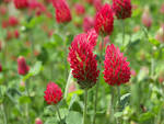 Images & Illustrations of crimson clover