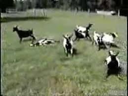 Fainting Goats | Animals | Know Your Meme via Relatably.com