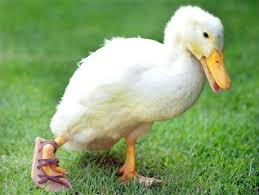 Image result for lame duck