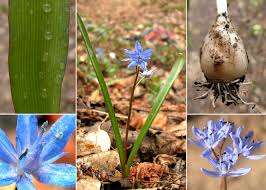 Scilla bifolia L. - Esploriamo la flora: un progetto per le scuole