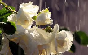 Image result for rain on roses
