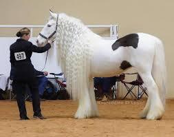 اطول شعر حصان فى العالم سبحان الله images?q=tbn:ANd9GcQ