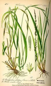 Molinia caerulea - Online Virtual Flora of Wisconsin