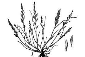 Plants Profile for Catapodium rigidum (ferngrass)