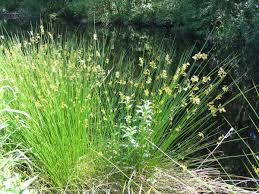 Juncaceae - Wikipedia