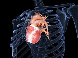 Image result for actual human heart