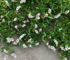 Heliotropium curassavicum - Wikipedia