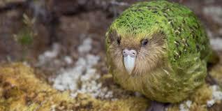 Kākāpō: The Endangered <b>Parrot</b> of the Night