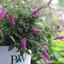 Image result for garden center butterfly bush