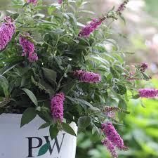Image result for garden center butterfly bush