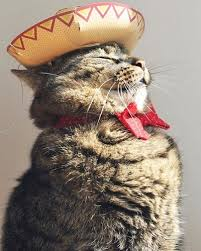 Image result for cat with mexican food