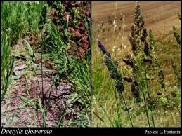 Dactylis glomerata L.: FloraBase: Flora of Western Australia