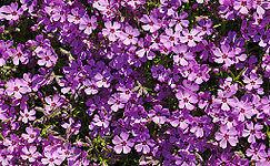 <b>Purple</b> - Wikipedia