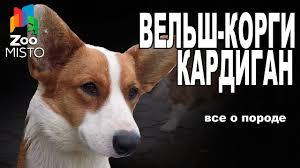 Вельш-<b>Корги Кардиган</b> - Все о породе собаки | Собака породы ...