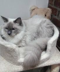 kantial ragdolls ragdoll cats kittens in buckinghamshire mia vicente