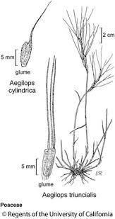 Aegilops triuncialis