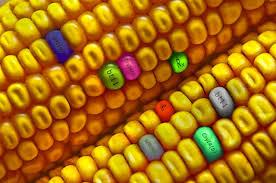 Resultado de imagem para GMO