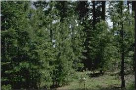 Image result for cool climate pine tree