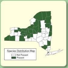 Carex diandra - Species Page - NYFA: New York Flora Atlas