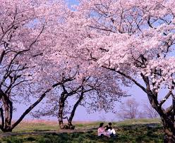 「桜 フリー画像」の画像検索結果
