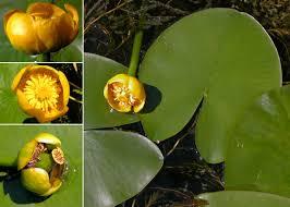 Nuphar lutea (L.) Sm. - Sistema informativo sulla flora vascolare dei ...