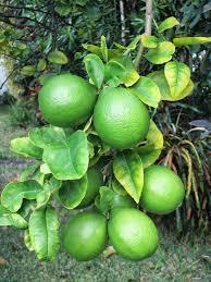 lemon tree x: immature meyer lemons bnurserybjpg immature meyer lemons