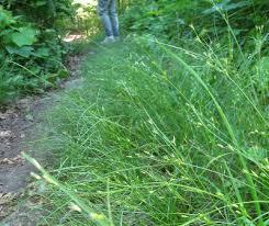 Juncus tenuis - Michigan Flora