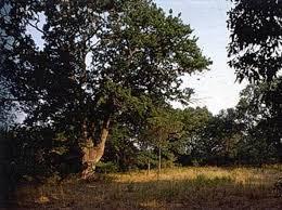 Risultati immagini per foresta capocotta