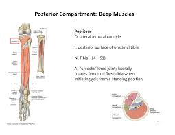 leg muscles medicine sms heymann lopez at cooper medical image popliteus for definition side of card