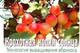 <b>Apricot</b> growing conditions - AGRONOM advises | Site about the ...