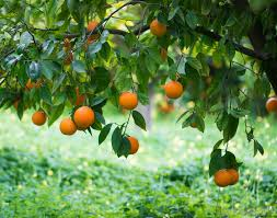 Image result for temple oranges