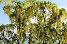 Laburnum: The Deadly Tree In Your Back Garden? - Primrose Blog