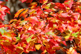 Best Maple Trees for Fall <b>Color</b>