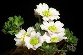 Callianthemum miyabeanum - Wikipedia