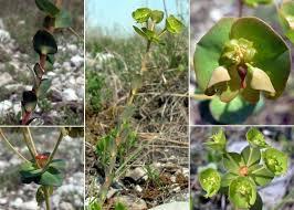 Euphorbia kerneri Huter ex A.Kern. - Portale sulla flora del Parco ...